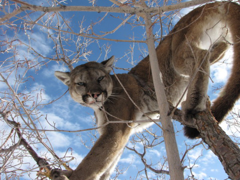 3-Utah mountain Lion